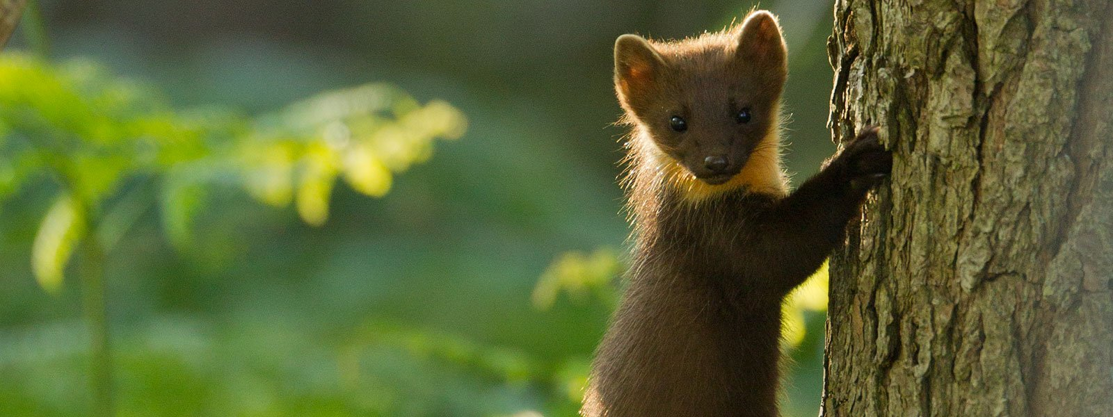 Pine marten on tree (c) Mark Hamblin, 2020VISION