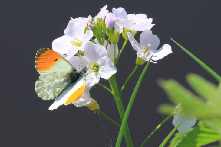 Orange tip butterfly resting on pink-white flowers