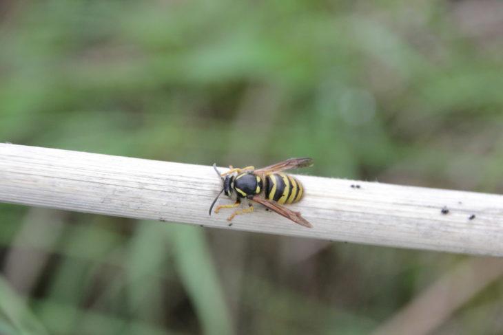 Wasp at Mosswater LNR - Image Tracy Lambert