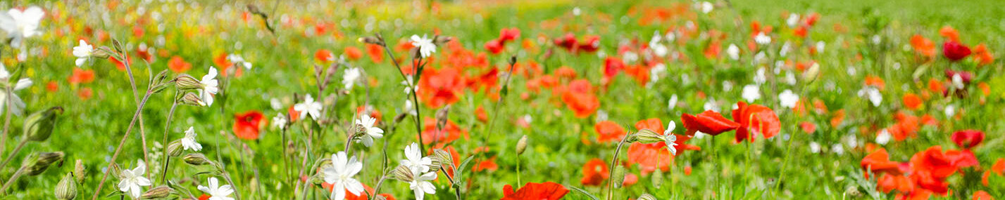 Field of long grasses and flowers including poppies