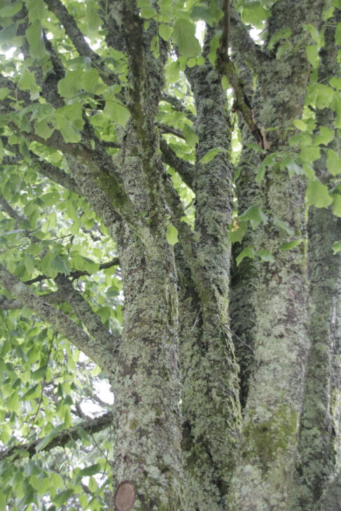 Green leafy tree covered in moss and lichen