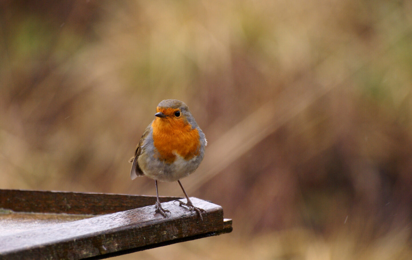 Robin standing on edge of bird table