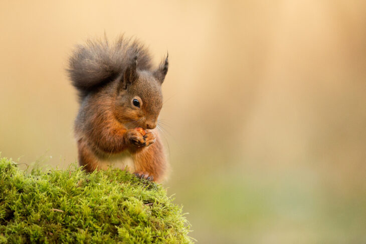 Cute red squirrel having a snack (c) Raymond Leinster
