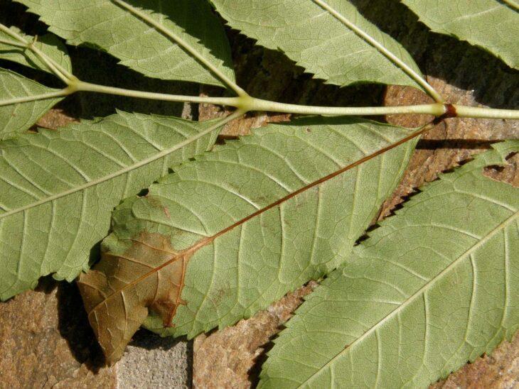 Ash leaves showing ash dieback