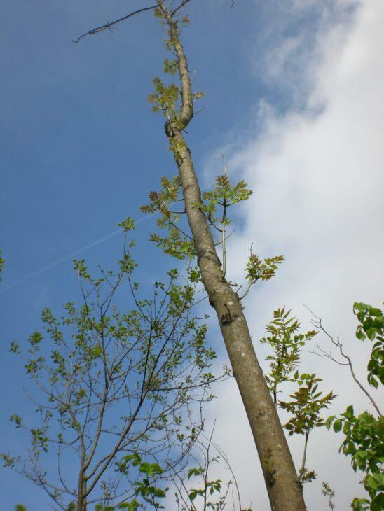 Ash tree with ash dieback